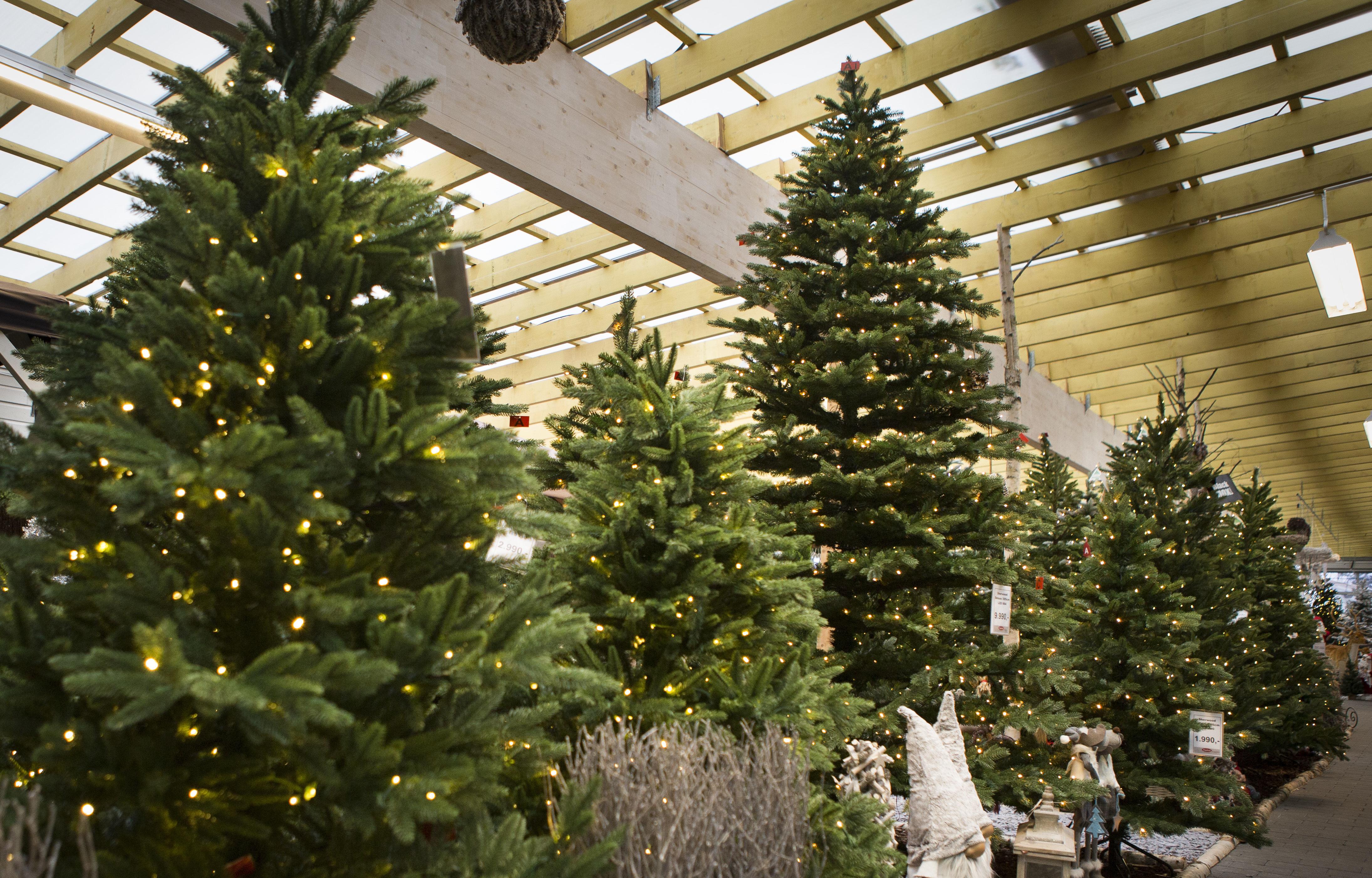Oppdatert Stor vekst for små juletrær | ABC Nyheter PF-87